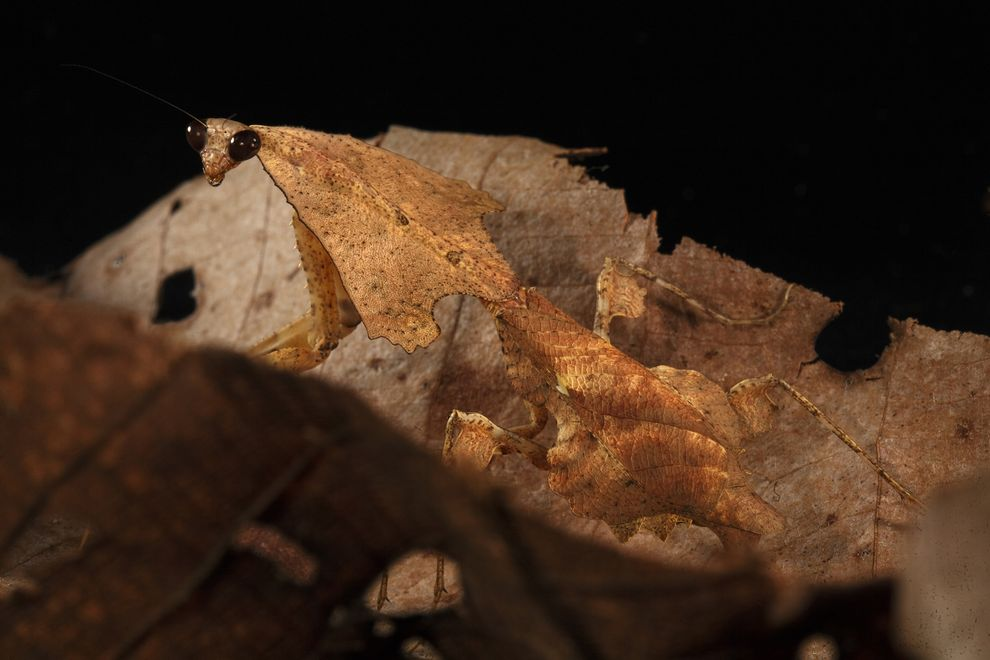 Leaf litter mantid