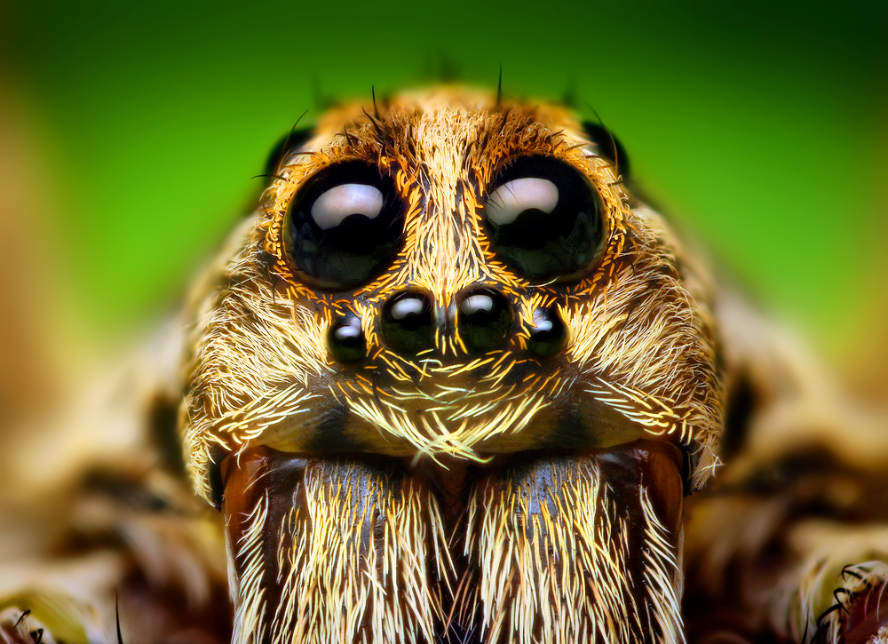 Eye_Arrangement_of_a_Hogna_Wolf_Spider
