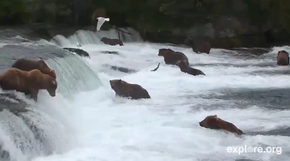 ak-brooks-river-brown-bear-and-salmon-cam-snapshot