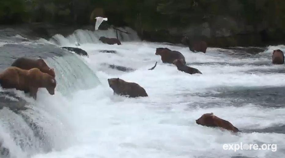 ak-brooks-river-brown-bear-and-salmon-cam-snapshot