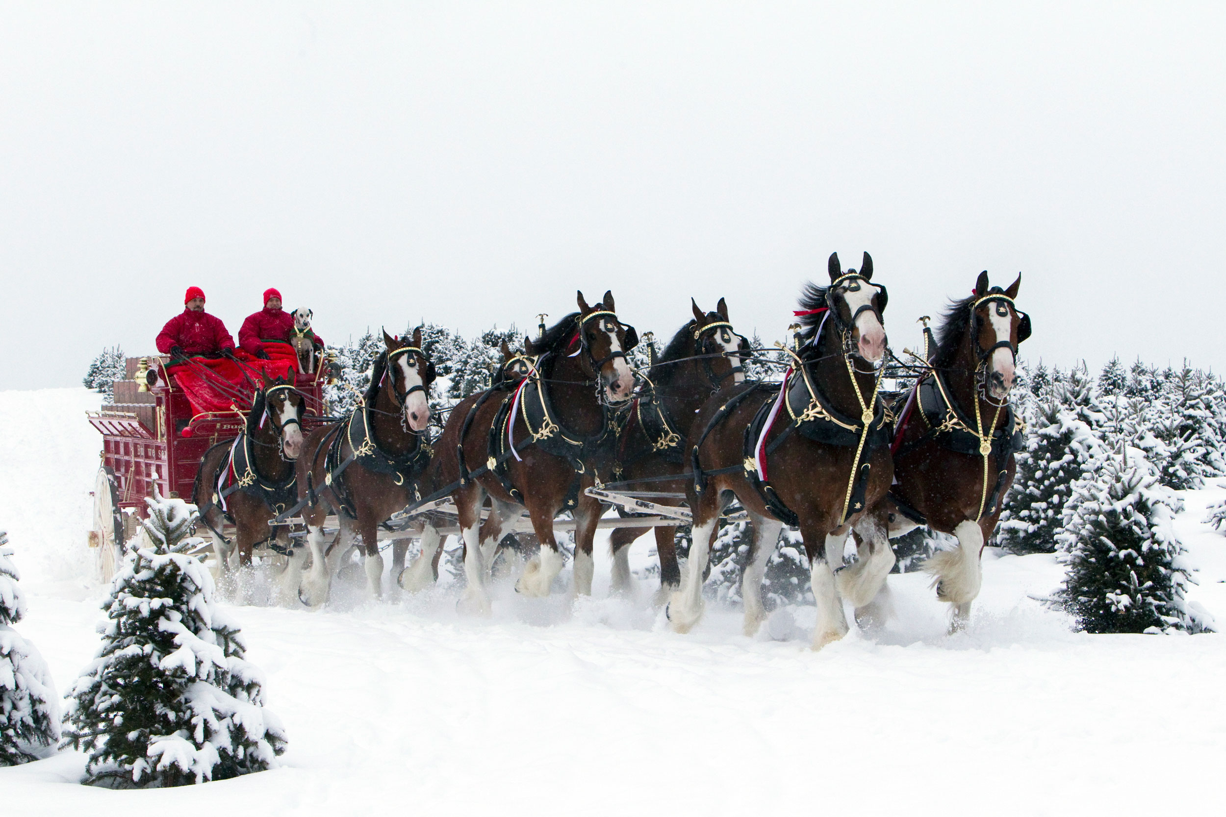 budweiser-clydesdales-in-snow