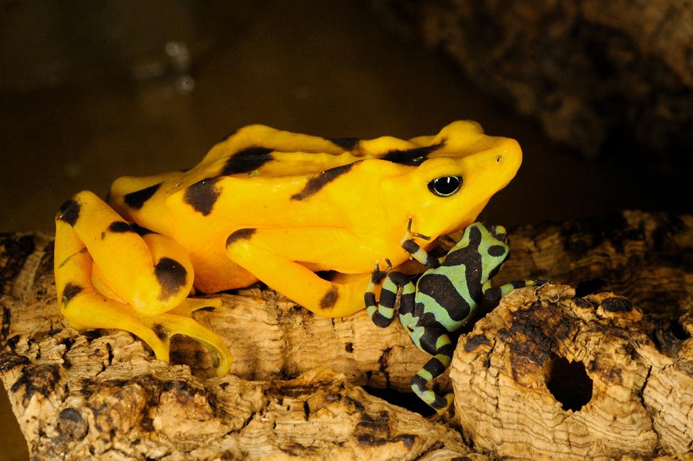 Julie-Larsen-Maher-3216-Panamanian-Golden-Frog-with-Toadlet-02-13-09-hr