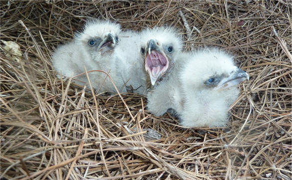 bald_eaglets_american_eagle_foundation_0511