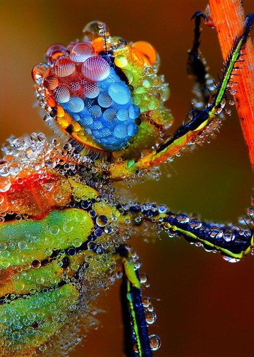 dew-dragofly