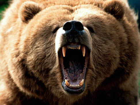 species-spotlight-grizzly-bear-brown-mouth-open-black-nose-attacking-growling-biting-photo