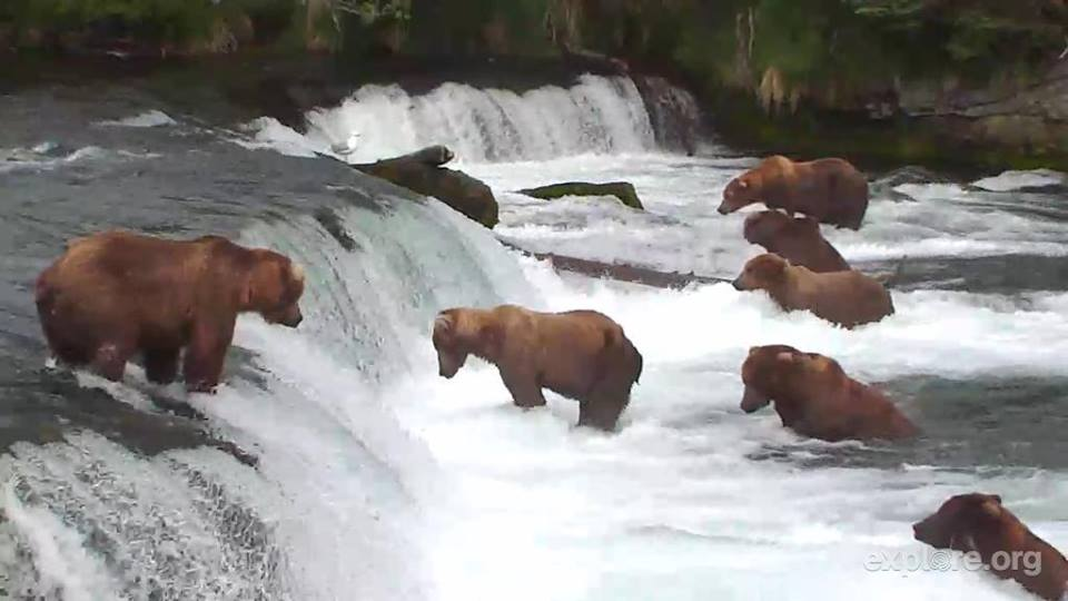 7-bears-explore.org-facebook-page…-posted-thursday-anyone-watch-bearCam-last-night-At-one-point-there-were-ELEVEN-bears-fishing.-