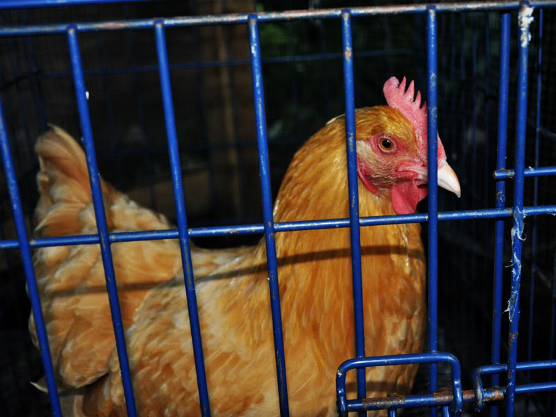 june8-chickens-broody-cage